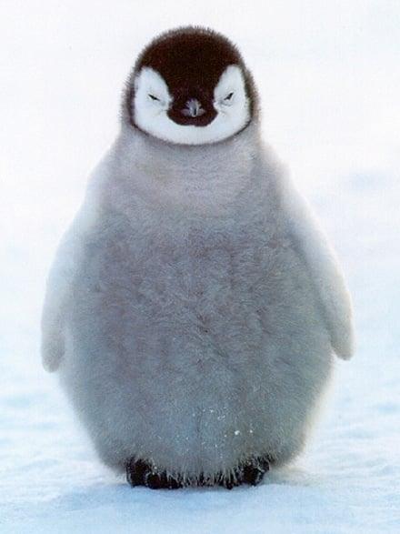 cute-baby-penguins