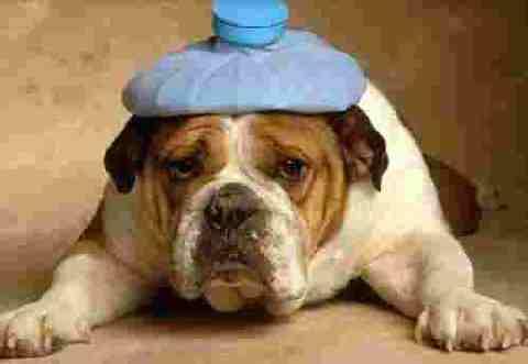 Hangover hungover dog with hangover