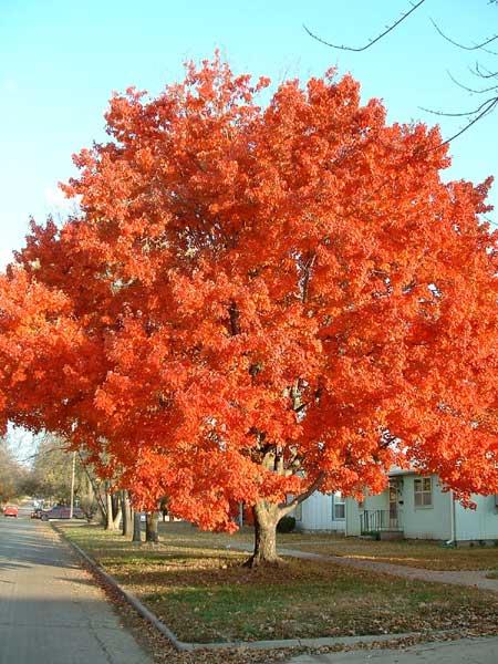 maple_tree
