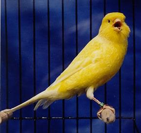canary_border_fancy2